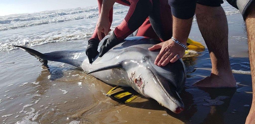🇫🇷 Cap d'Agde (34) : Un dauphin échoué sur la plage d'Héliopolis
